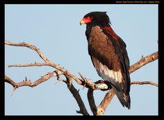 An endemic raptor from Masai Mara - the Bateleur.. shot in 2011