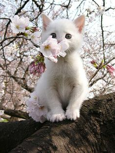 Japanese cat sitting in a cherry tree.