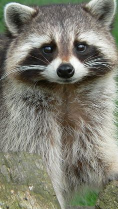 *Smiley face raccoon.  (sp)  #raccoon #animals #wildlife