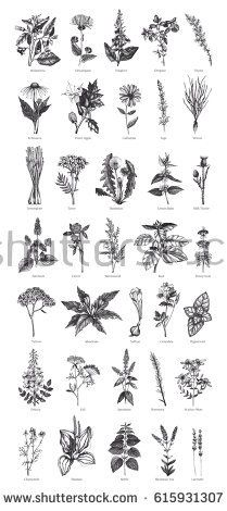 Big  Collection of hand drawn Spices and Herbs. Botanical illustration. Vintage Medicinal and aromatic Plants sketch set isolated on white