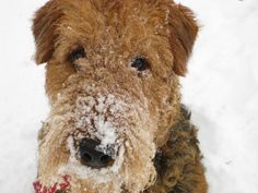 Snow Dog Airedale Terrier 8X10 Photo  Dog Lovers by AFlashOfNature, $18.00
