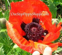Oriental Poppy Flower Seeds - Brilliant Poppies