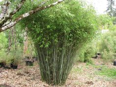 """How to Prune Clumping Bamboo (see bottom of page): an excellent description and pictures of how to prune clumping bamboo. For more information, please see my other gardening board, """"Plants I Have Admired"""". Photos from the Bamboo Garden."""