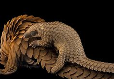 A baby African white-bellied tree pangolin hitches a ride on its mother at Pangolin Conservation, a nonprofit organization in St. Augustine, Florida.