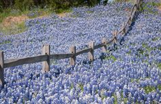 Texas Bluebonnets in the Texas Hill Country