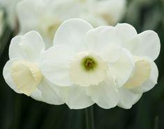 April: Narcissus 'Fruit Cup'