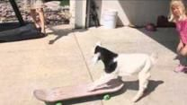 Lily the Goat Tries Out a Skateboard