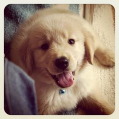 Golden Retriever puppy cuteness
