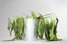 Saving your dying herb plants are simple. Chances are, even if the herbs you are…
