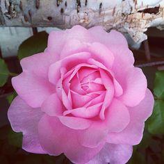Nick Knight @showstudio_nick_knight Rose in my garden .Instagram photo | Websta (Webstagram)