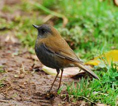 Black-billed_Nightingale-Thrush (Catharus gracilirostris) by Jerry Oldenettel. Nature Music, Nature Gif, Nightingale Bird, Turkey Bird, Sound Song, Nature Sounds, Budgies, Relaxing Music, My Animal