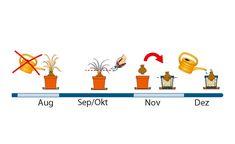 Amaryllis Pflegeplan für das zweite Halbjahr Planer, Family Guy, Fictional Characters, Amarylis, Balcony Gardening, Cracker, Tricks, Terrace, Flowers