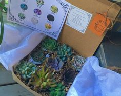 The Giving Box, Give Thanks Succulent Gift Box. 9 Assorted Premium succulents with Pumpkin Tag Succulent Treasures