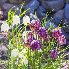 Fancy Schachbrettblume Seinen Namen hat diese Besonderheit von ihren schachbrettartig gemusterten Glockenbl ten Einzigartig sch n