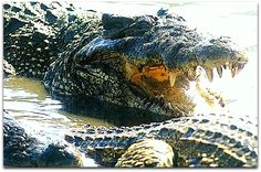 Cocodrilos Ciénaga Zapata. Cuba, Waves, Outdoor, Crocodiles, Beach, Outdoors, Ocean Waves, Outdoor Games, The Great Outdoors