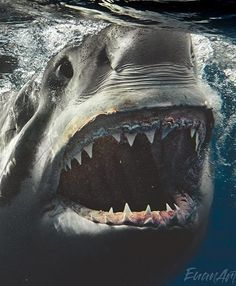 Brit photographer takes incredible up close and personal pics with massive great white sharks – The Sun Scary Ocean, Scary Shark, Huge Shark, Hai Tattoos, Cool Sharks, Whale Sharks, Shark Photos, Shark Pics, Orcas