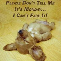Please don't tell me its #Monday I can't face it. #CockerSpaniel #Puppy #humor