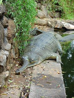 Most Unusual Crocodiles - The Lazy Gharial - India