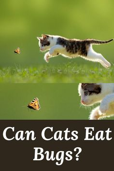 The cat's nature is curious and always intrigued by moving things. Bugs are no exception. What if cats accidentally eat them? Can Cats Eat Bugs? Cat Health, Health Tips, Cat Care Tips, Cat Behavior, All About Cats, Cat Facts, Window Sill, Cat Food, Funny Cats