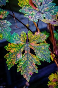 The slow decay of chlorophyll reveals the lovely colors that had been hidden all summer long.