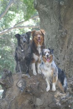 Australian Shepherds, blue merle no white co copper, red tri, and a blue merle with white and copper.