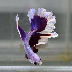 Pretty Fish, Cute Fish, Beautiful Fish, Betta Aquarium, Betta Fish Types, Betta Fish Tank, Fish Tanks, Beautiful Sea Creatures, Animals Beautiful