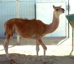 Cama- Rama the Cama at 2 years. A Cama is a hybrid between a camel ...