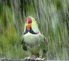 green - parrot - rain