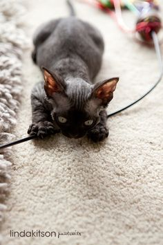 Berri - black smoke Devon Rex  Look - now YOU can have a pet Toothless, too! I think this is a cat...but i still like it