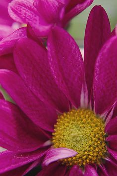"""Bright pink and yellow flower with """"shy"""" petal. *giggles*"""