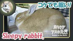 コケても眠い!【ウサギのだいだい 】 Sleepy rabbit. 2016年1月5日