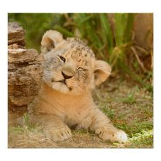 An adorable and cute lion cub Beautiful Cats, Animals Beautiful, Cute Baby Animals, Animals And Pets, Big Cats, Cats And Kittens, Cat Safe Plants, Gato Grande, Cute Lion