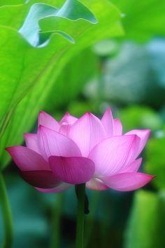 Lotus at Shinobazunoike(Ueno Onshi Park), Tokyo, Japan