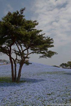 Hitachi Seaside Park et ses fleurs bleues par millions Ibaraki, Hitachi Seaside Park, Coups, Great Places, Beach, Water, Outdoor, Beautiful, Places