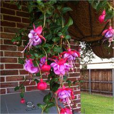 My cool fuchsia plant. Neato!