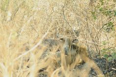Asiatic lion and lioness (Panthera leo persica) at Gir National park India. Asiatic Lion, Lion And Lioness, Leo, National Parks, India, Goa India, Lion, Indie, Indian