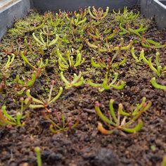 Sarracenias mix growing.. #Sarracenia #seeds #carnivorousplants #carnivoroustagram #plantasinsectivoras #plantascarnivoras #insectivorousplant by plantascarnivorasmty