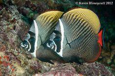 2 Chaetodon collare (White Collar Butterflyfish) - Maldives   par Karen Honeycutt Marine Aquarium Fish, Saltwater Aquarium, Ocean Creatures, Exotic Fish, Underwater World, Sea World, Corals, White Collar, Ocean Life
