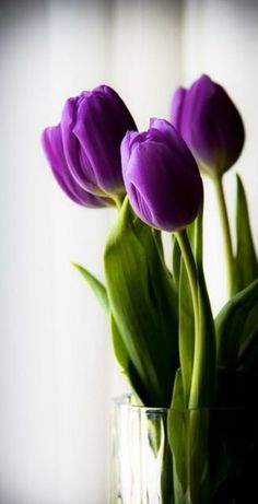 How to grow or force tulips and other perennials in glass jars all year around in your home. Glass vases or canning gars are great to use when growing tulips in your house. Flower Background Wallpaper, Flower Phone Wallpaper, Flower Backgrounds, Purple Flower Background, Purple Flowers Wallpaper, Purple Tulips, Tulips Flowers, Purple Spring Flowers, Amazing Flowers