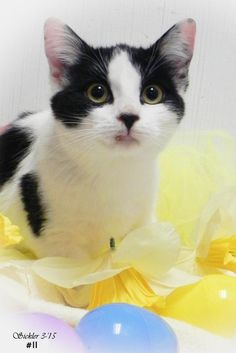Meet Micki, a Petfinder adoptable Domestic Short Hair Cat | Emporia, KS | If interested in adopting a pet from our shelter you will need to fill out a request to adopt....