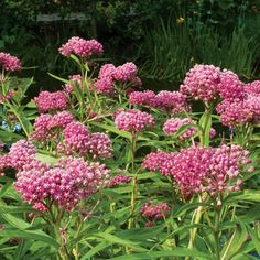 Red Swallowwort (Asclepias incarnata). Listed in an 1827 catalog, this butterfly attractant smells like vanilla. (Also, since it is an Asclepias, I imagine it is a harbour for Monarch butterflies? Anyone know?)