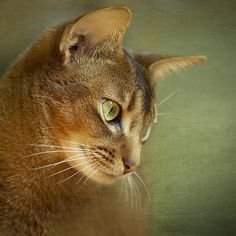 Portrait Of An Abyssinian Cat With Textures Photograph by Wolf Shadow Photography - Portrait Of An Abyssinian Cat With Textures Fine Art Prints and Posters for Sale fineartamerica.com