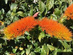 A escova-de-macaco-alaranjada ou escovinha é uma trepadeira tipo liana, nativa brasileira. Se destaca pelas suas flores em forma de escovinha em laranja forte. Veja como cultivá-la. Nome botânico: Combretum fruticosum (Loefl.)Stuntz Sin.: Gaura fruticosa Loefl., Combretum loeflingii Eichler, Combretum oxypetalum G.Don. Nome #+Plantas #comocultivar #comoplantar #fazfacil #flores #nativabrasileira #trepadeira Plants, Monkey, Brazilian Blowout, Strong, Orange, Craft, Climber Plants, Planters, Plant