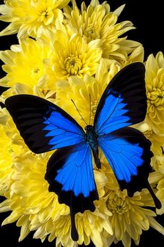 Lovely Blue Butterfly On Beautiful Bright Yellow Poms - by Garry Gay Butterfly Kisses, Butterfly Flowers, Blue Butterfly, Butterfly Pictures, Yellow Flowers, Butterfly Shape, Monarch Butterfly, Flower Pictures, Beautiful Bugs