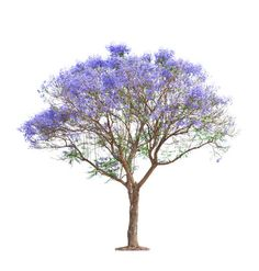 Find Beautiful Blooming Jacaranda Tree Isolated On stock images in HD and millions of other royalty-free stock photos, illustrations and vectors in the Shutterstock collection. Landscape Sketch, Landscape Architecture, Landscape Design, Spring Blooming Trees, Tree Cut Out, Photos Free, Image Beautiful, Photoshop Images, Blue Sky Background