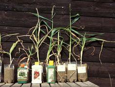 Växtnäring tillförs genom gödsling. Ett av de bästa gödselmedlen är mänsklig urin.