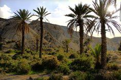 Palmeras y vegetación, desierto almeriense, Rambla Viciana, Oasis de Lawrence de Arabia