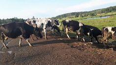 Пастбищные племенные  коровы с продуктивностью в 10 000 за лактацию Российского происхождения идут н