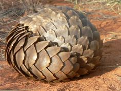 Africa's Artichokes – Unravelling the mysteries of pangolins on World Pangolin Day