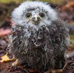 """""""This scruffy looking little dude is a baby morepork. It was found by on a walking track after accidentally falling out of its nest. Hobbit Land, The Hobbit, Kiwiana, Sea Birds, Animal Paintings, Squirrel, New Zealand, Deer, Coastal"""
